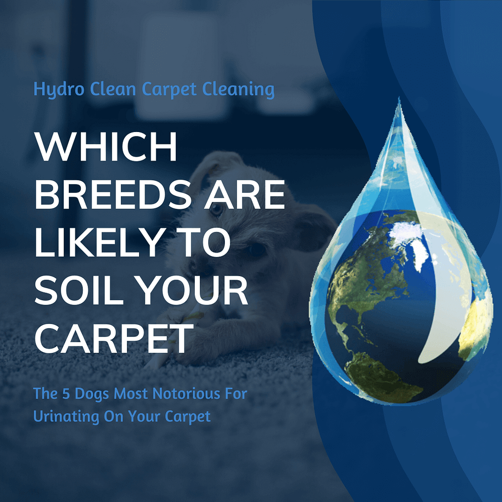 featured image which breeds are likely to soil your carpet